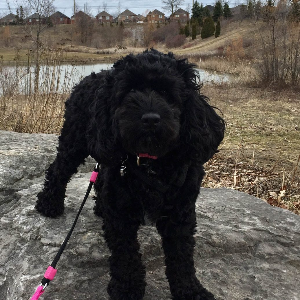Molly-Cockapoo-2 (2)